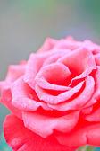 Fotografie Red rose