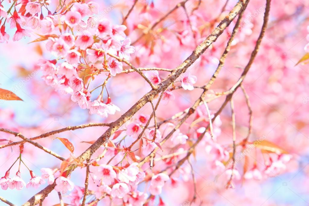 Fiori Di Ciliegio E Sfondo Di Sakura Foto Stock Deerphoto 27323007