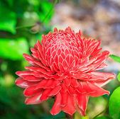 květ etlingera vyšší