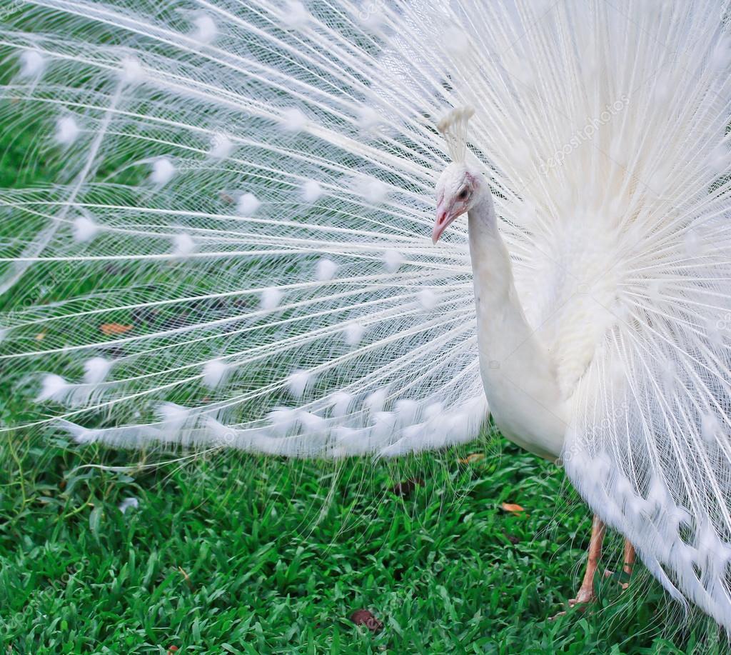 pavone bianco — Foto Stock © Deerphoto #37137287