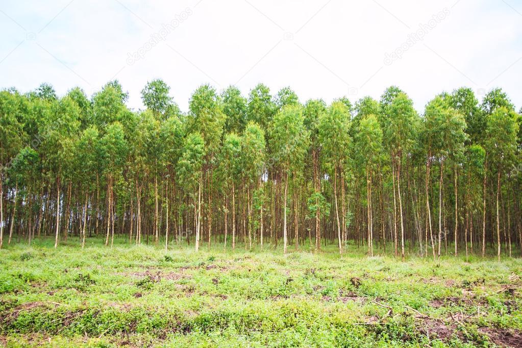 Eucalyptus fields