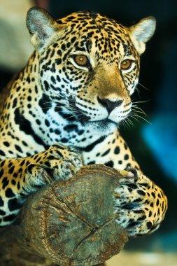 Jaguar in Central America