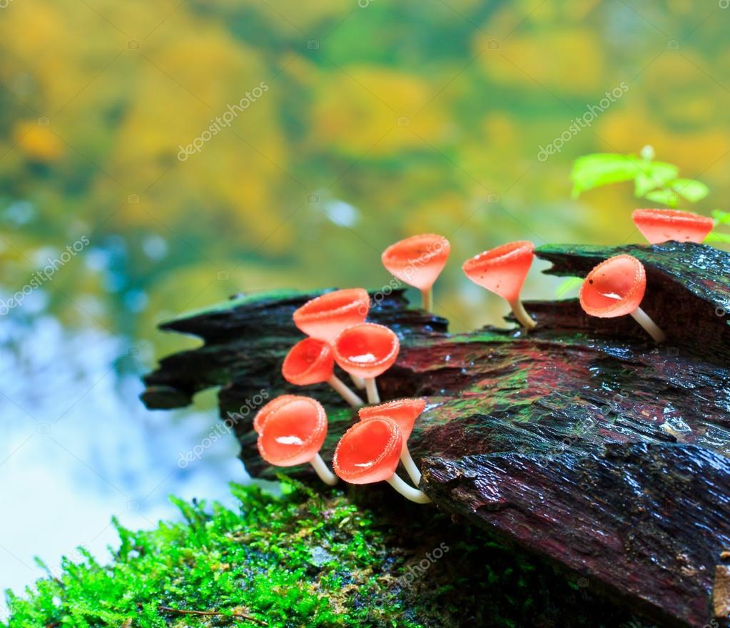 Red mushroom,