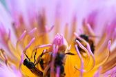 szép lotus