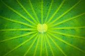 Fotografie Lotus leaf texturu
