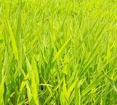Fotografie Green grass