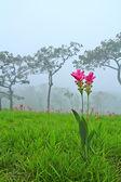 Fotografia Tulipani di siam selvatici fiorisce nella giungla