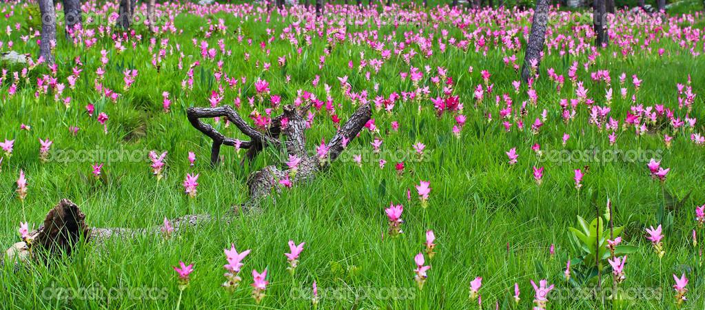 Wild flowers siam tulips