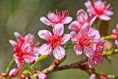 Sakura květu
