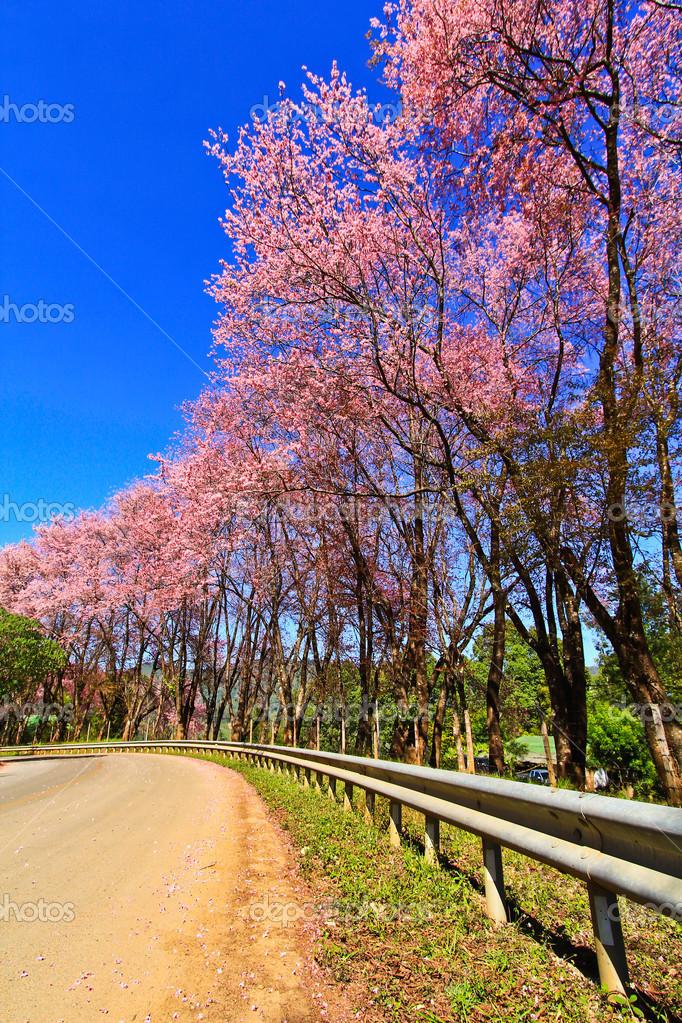 Sakura blooming in winter
