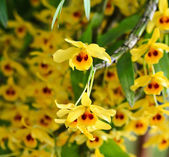 Fotografie Yellow Orchid