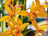 Fotografie Yellow orchids