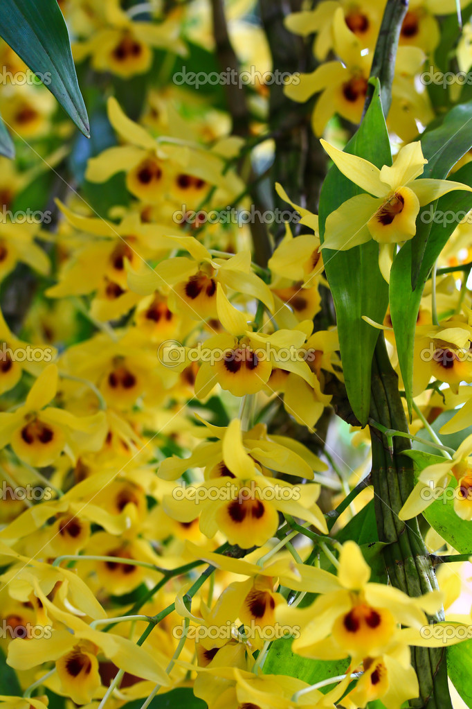 Yellow Orchids flowers