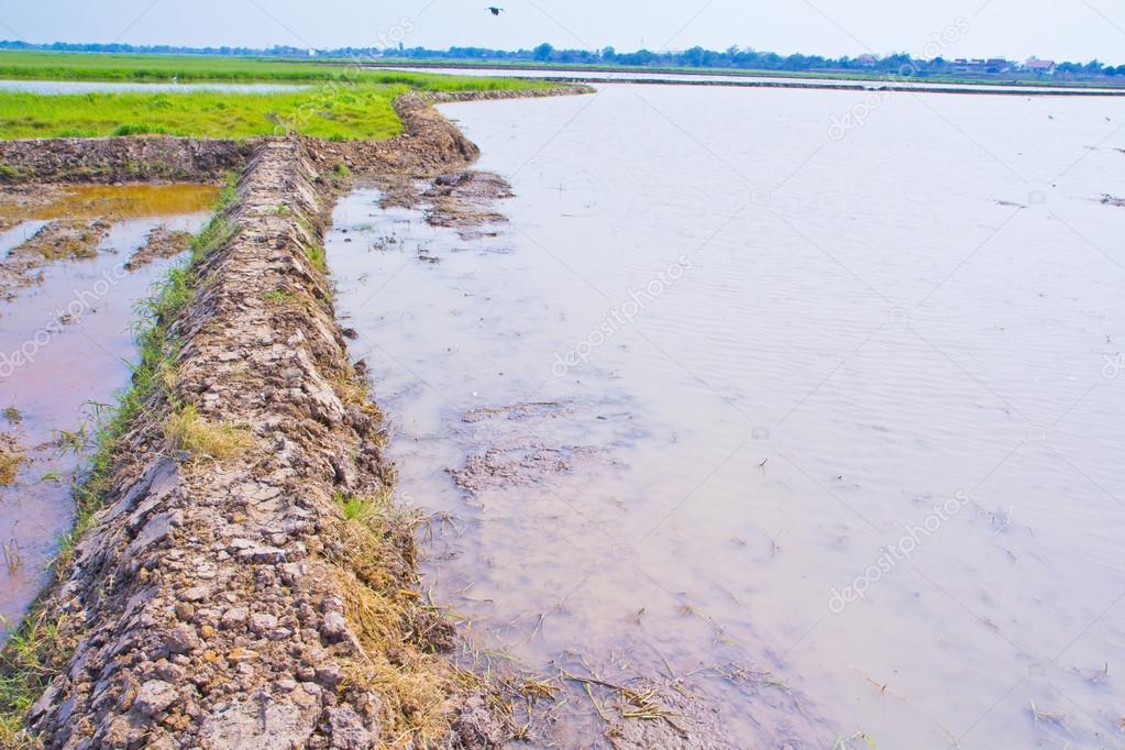 Thai farmers field
