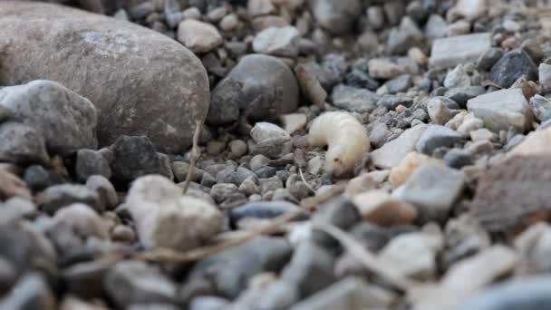 Někteří mravenci napadat a kousat bezbranné překrýt Červík