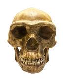 Fotografie fossiler Schädel von Homo antecessor