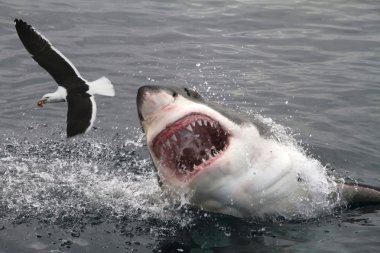 Great white shark attacking seagull