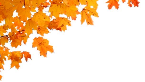 Ahornblätter im Herbst isoliert auf weiß. Raum für Ihren Text.