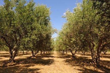 Olive tree orchard near Petrokefali in Crete