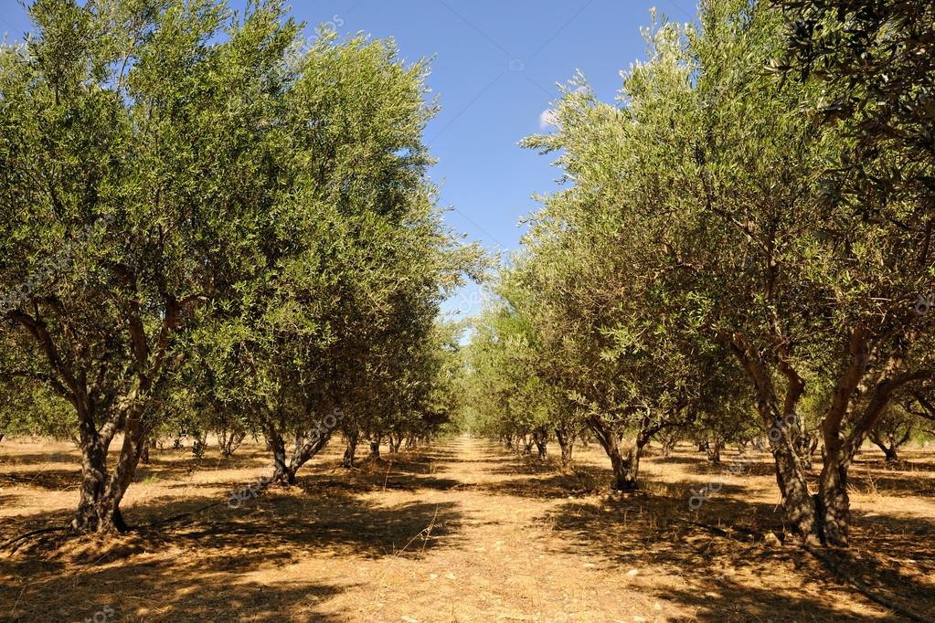 Olive tree orchard near Petrokefali in Crete
