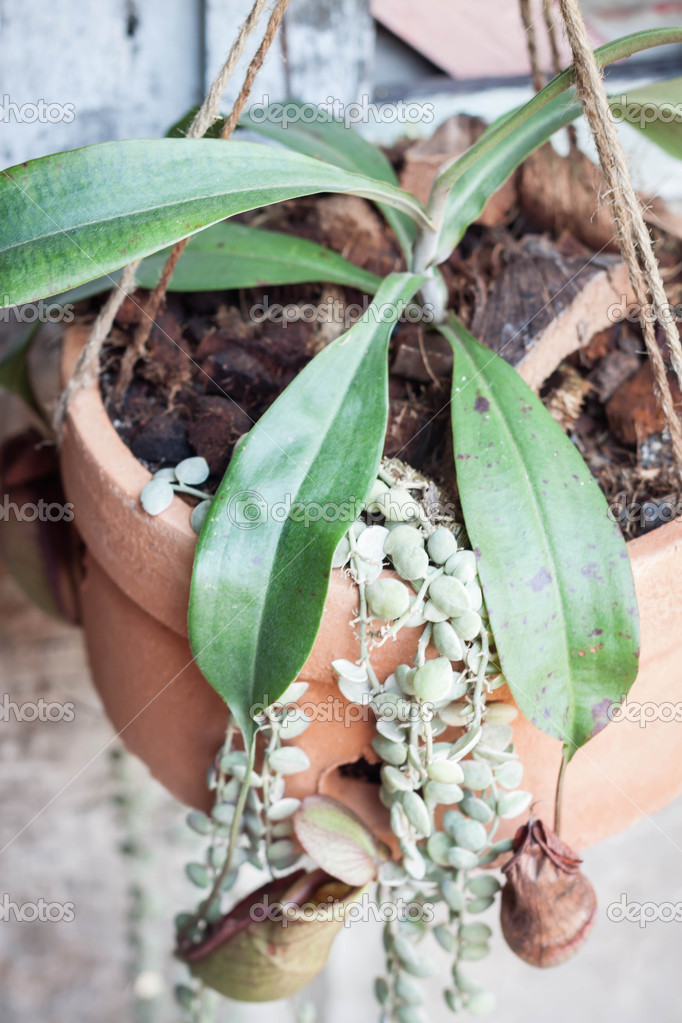 Tropical pitcher plant, Nepenthe