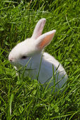 Fehér Húsvét nyuszi