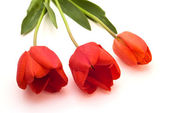 tři červené tulipány