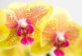 orchidej Phalaenopsis květ