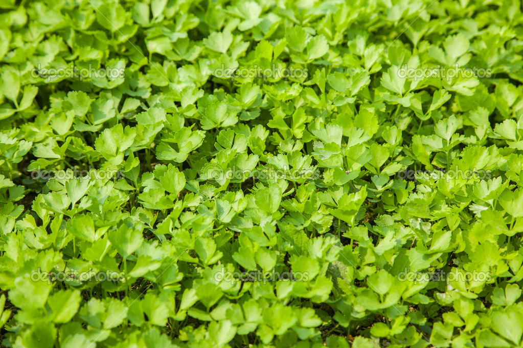 Young celery field