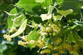 Lípa (Lípa) lipového květu