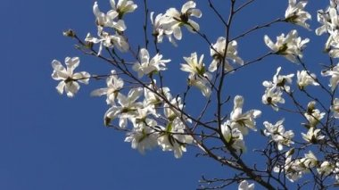 Magnolia Tree Stock Videos Royalty Free Magnolia Tree Footages