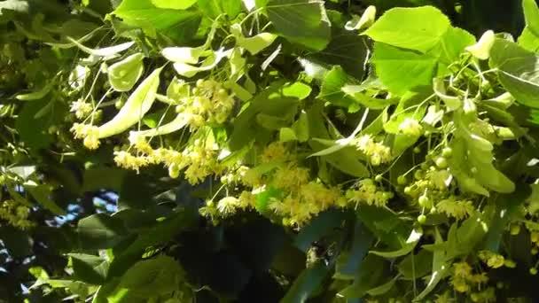 květy stromu Lípa