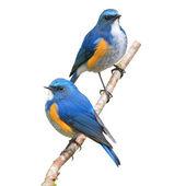 Himalájai tajvani madár