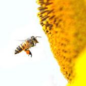 méh- és napraforgómag