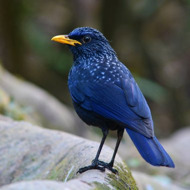 Blue Whistling Thrush Bird