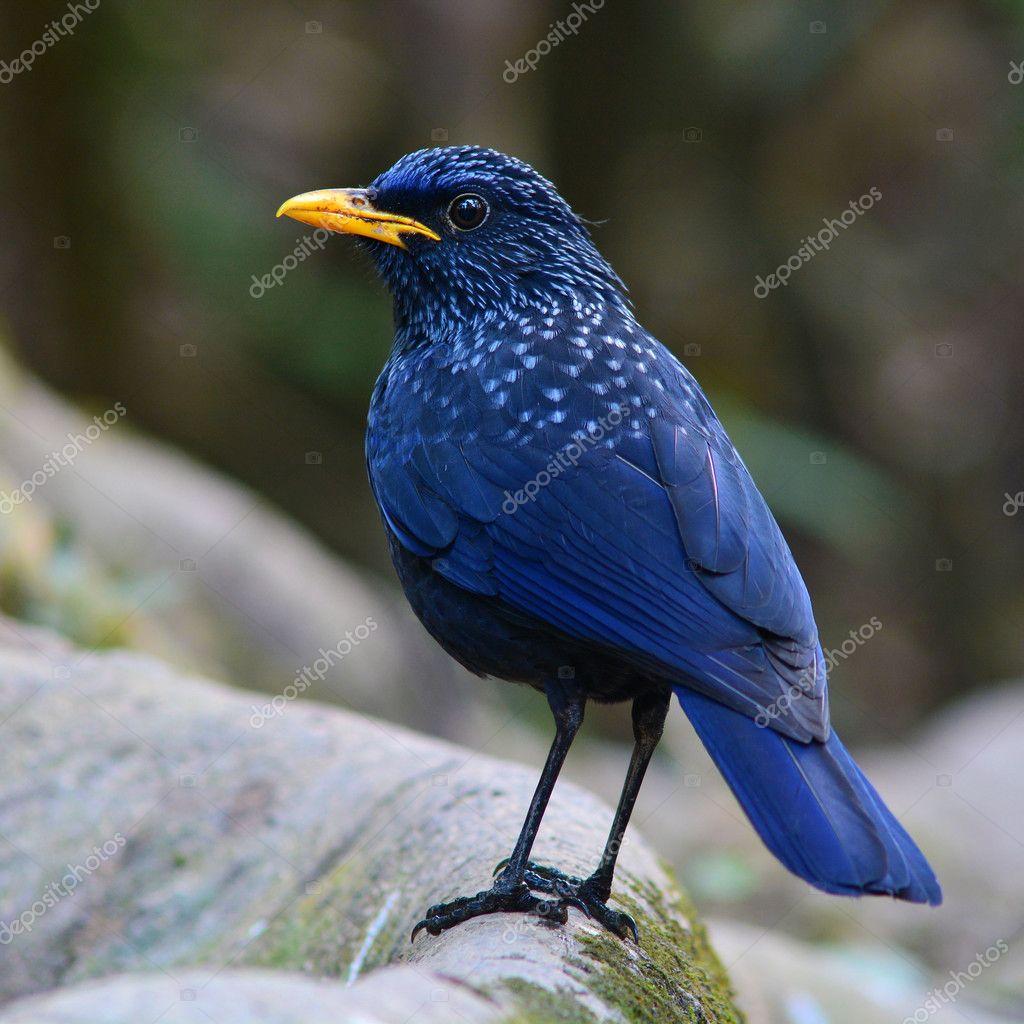 Blue Whistling Thrush Bird