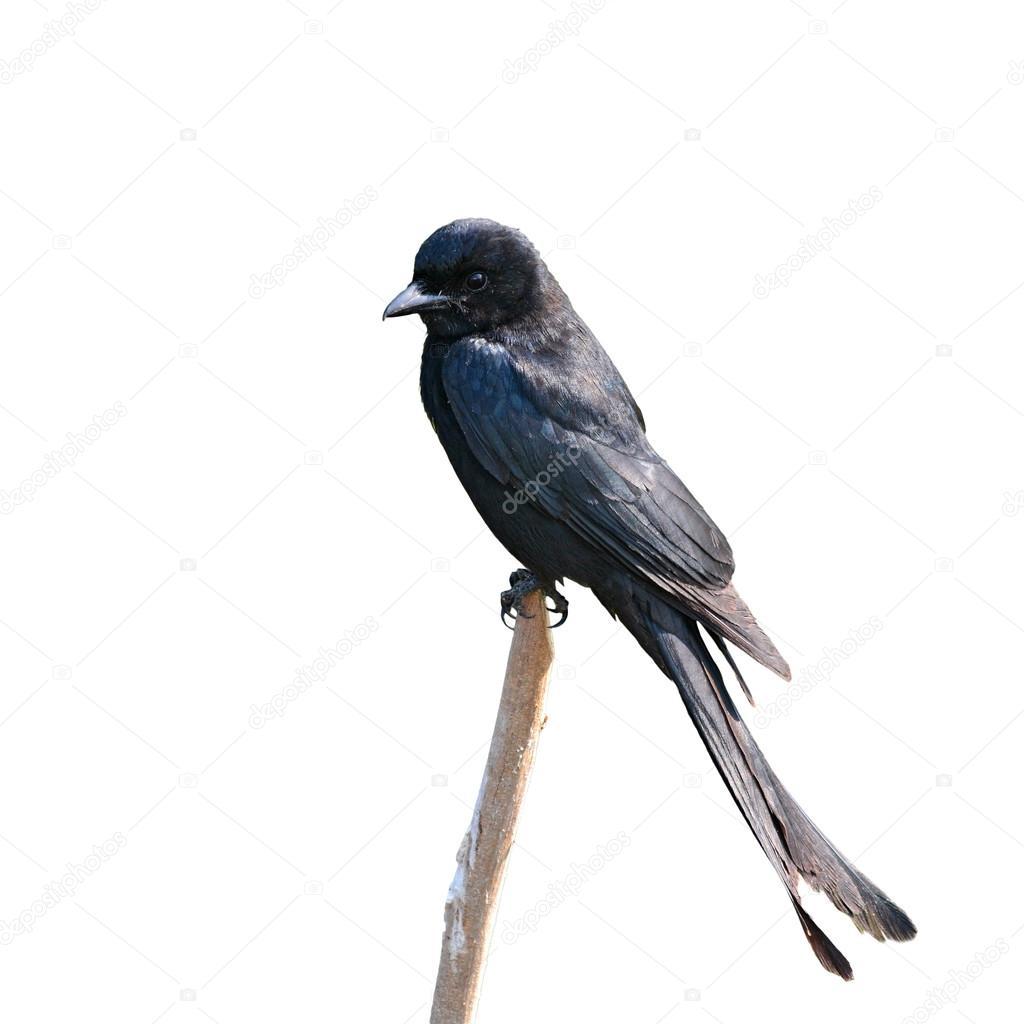 το μαύρο πουλί μουΓαμώ μου μεγάλο μαύρο πουλί