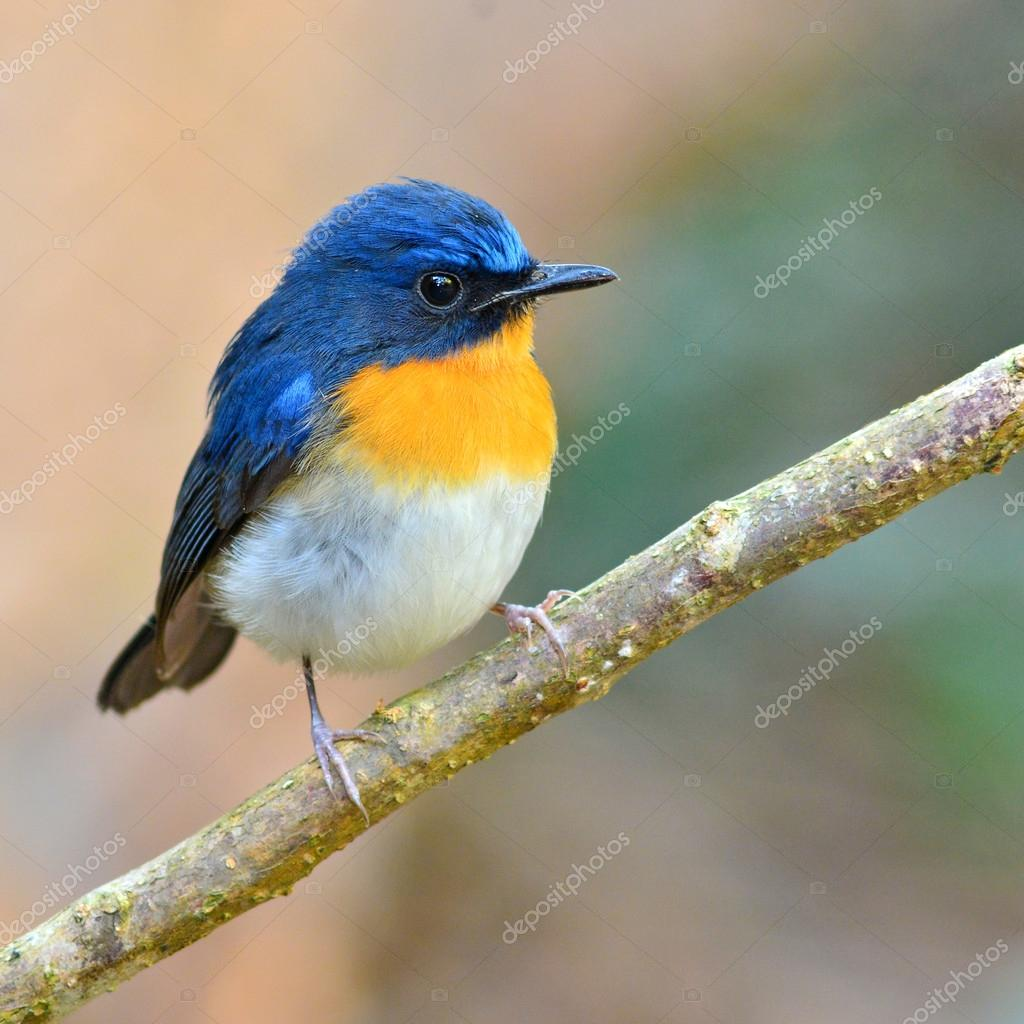 Tickell's blue-flycatcher bird