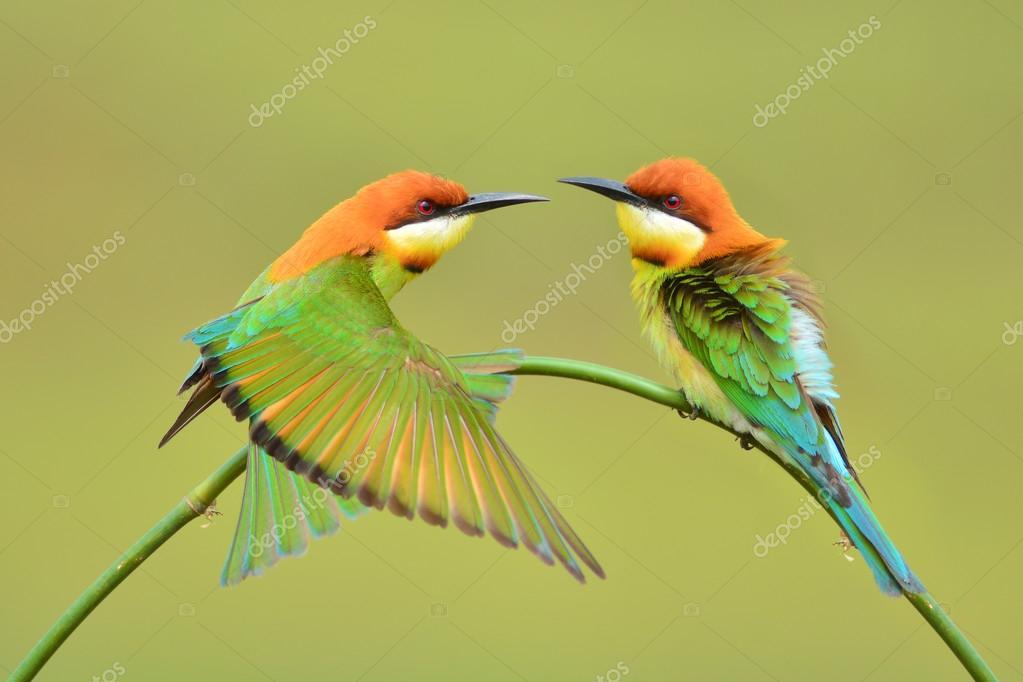 Beautiful Bee eater Bird