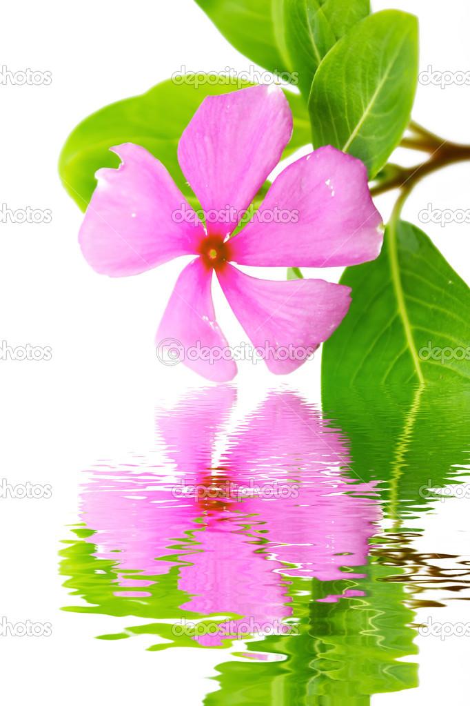 schöne rosa Blume weißen Hintergrund — Stockfoto © dinhngochung ...
