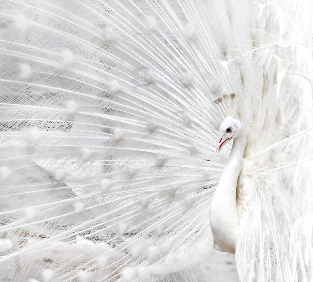 pavone bianco — Foto Stock © tomgigabite #48075809