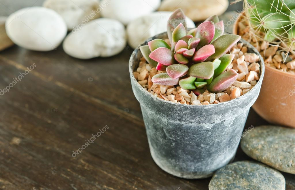 Succulents -Echeveria runyonii Rose