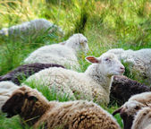 weiße und braune Schafe liegen auf grünem Gras