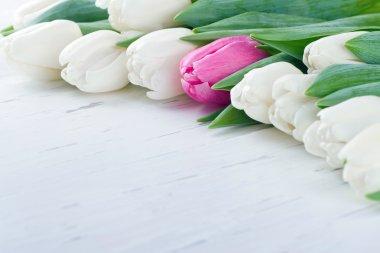 Single pink tulip among white tulips