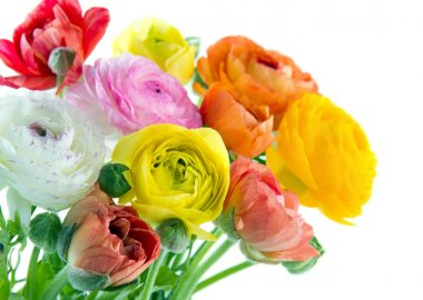 Colorful ranunculus flowers