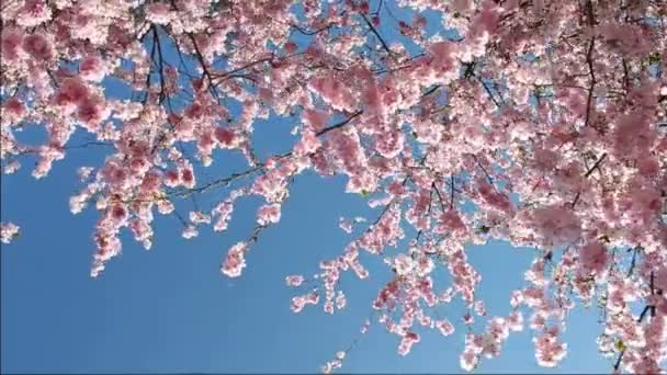 virágzás cseresznye
