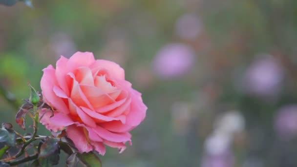 Puha alapon rózsaszín rózsa