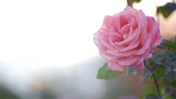 růžová růže na měkké pozadí