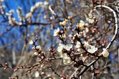 Spring flowering trees against the sky