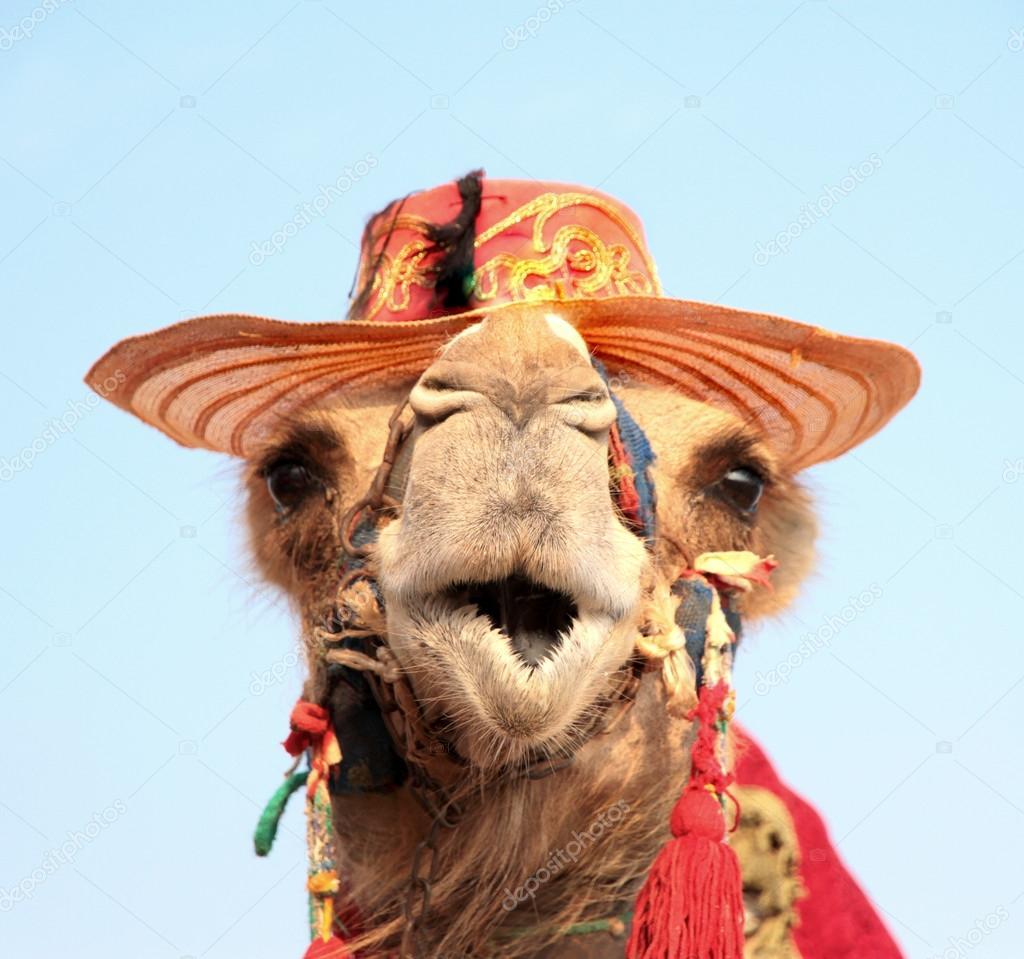 image drole chameau